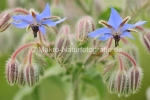 Borago officinalis.jpg, Borretsch, Foto
