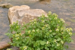 Nasturtium officinale, Brunnenkresse, Watercress