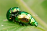 blattkaefer_chrysolina.jpg, Chrysolina herbacea