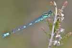 Mond-Azurjungfer, Coenagrion lunulatum, Irish Damselfly