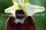 ophrys_chestermanii2.jpg, Chestermanns Ragwurz