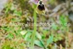 ophrys_normanii2.jpg, Normanns Ragwurz